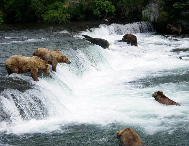 Six bears fishing for salmon at Brooks Falls in Katmai National Park