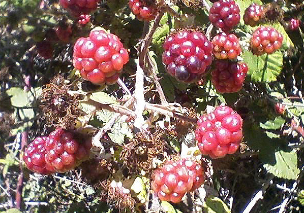 Berries growing along the Belgum Trail in Wildcat Canyon Regional Park