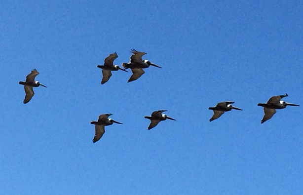 Flock of pelicans - photo credit: Mike Sohaskey