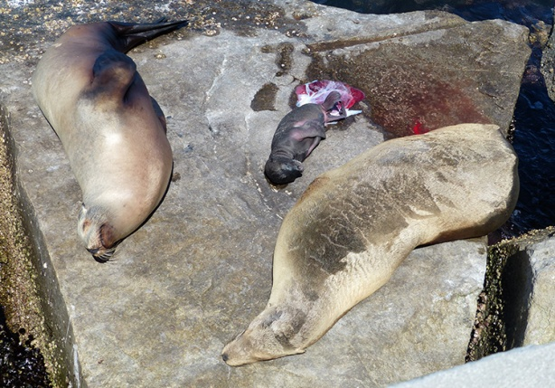 newborn sea lion with parents