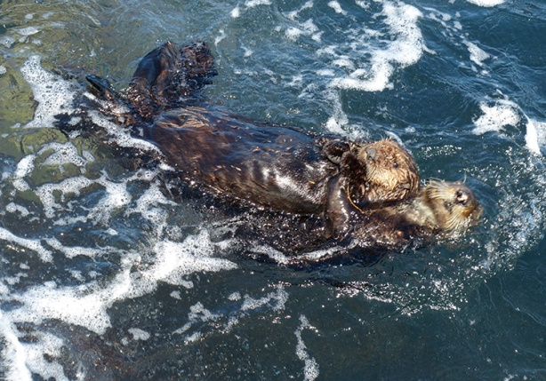 sea otter couple in Monterey Bay