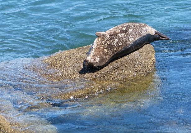 sea-lion-sunning-in-monterey