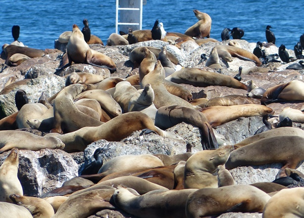 Sea lions in Monterey Bay