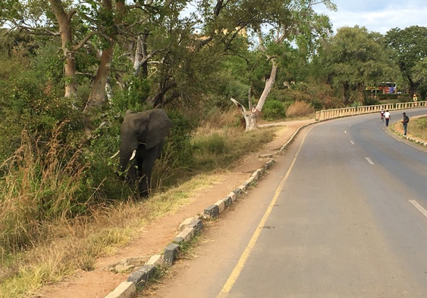 Encountering elephant at mile 14 of Victoria Falls Marathon