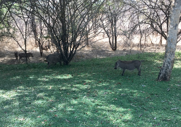 Grazing wart hogs at mile 22 of Victoria Falls Marathon