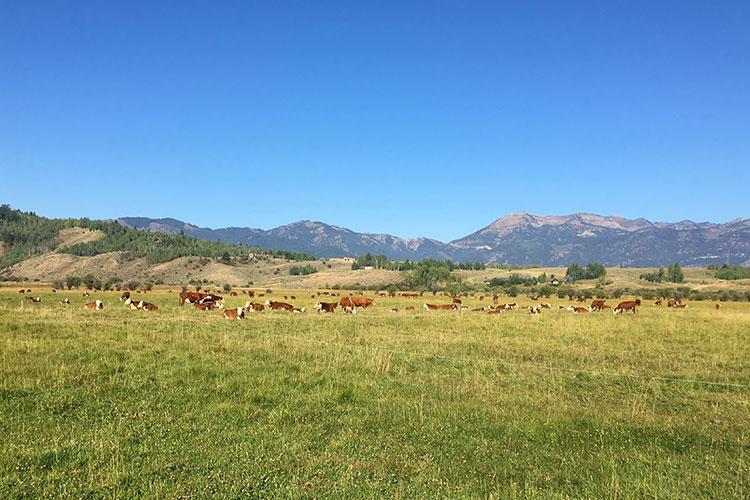 Cows as spectators at Jackson Hole Marathon