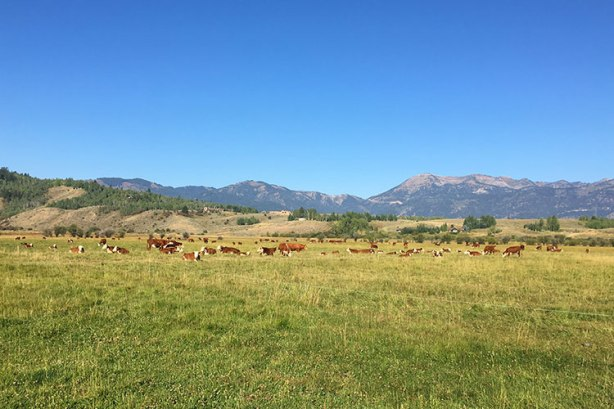 Cows as spectators at Jackson Hole Marathon