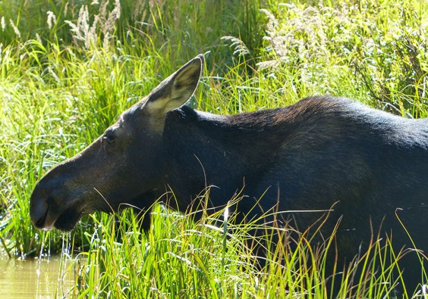 Moose sighting in Cascade Creek, Grand Teton National Park